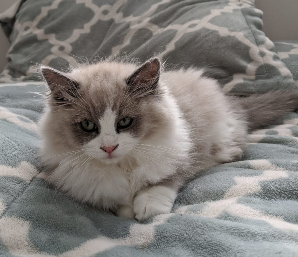 ciri khas corak kucing ragdoll