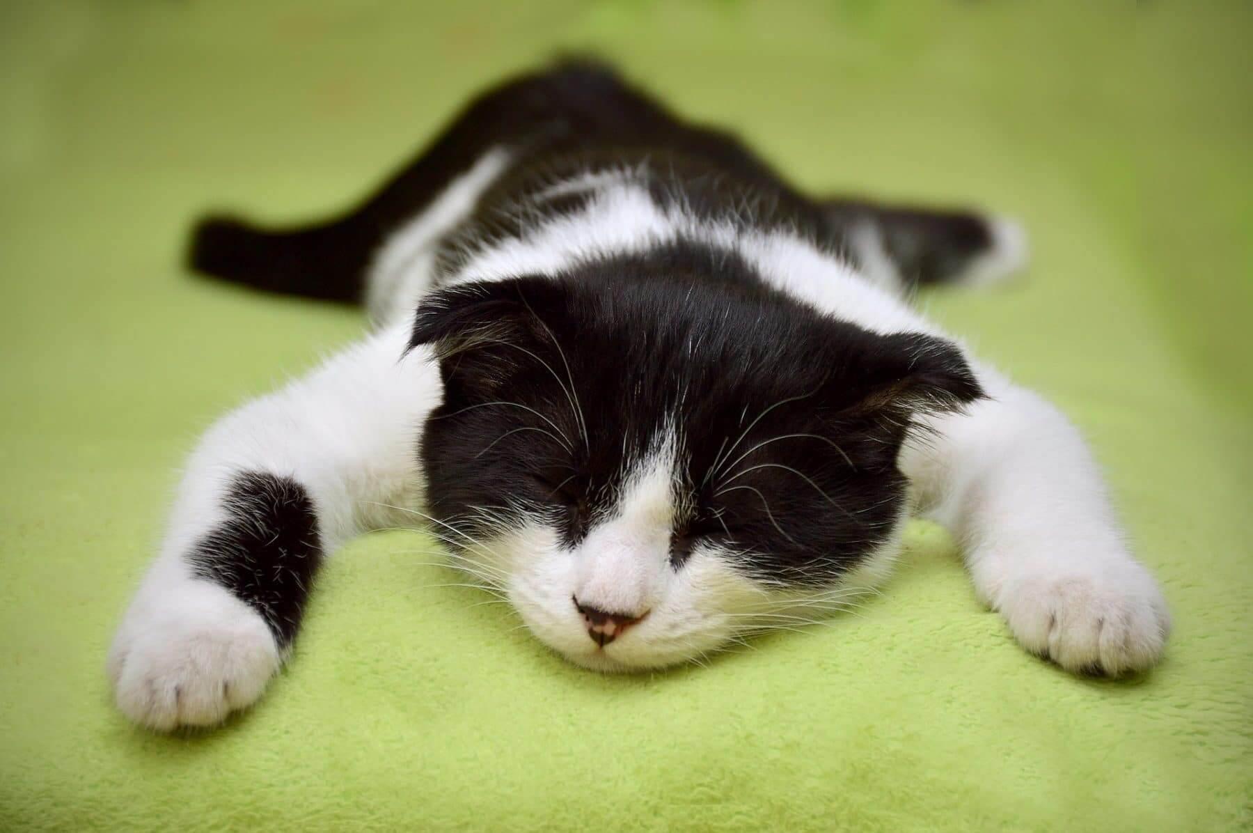 kucing lemas karena detak jantung melemah