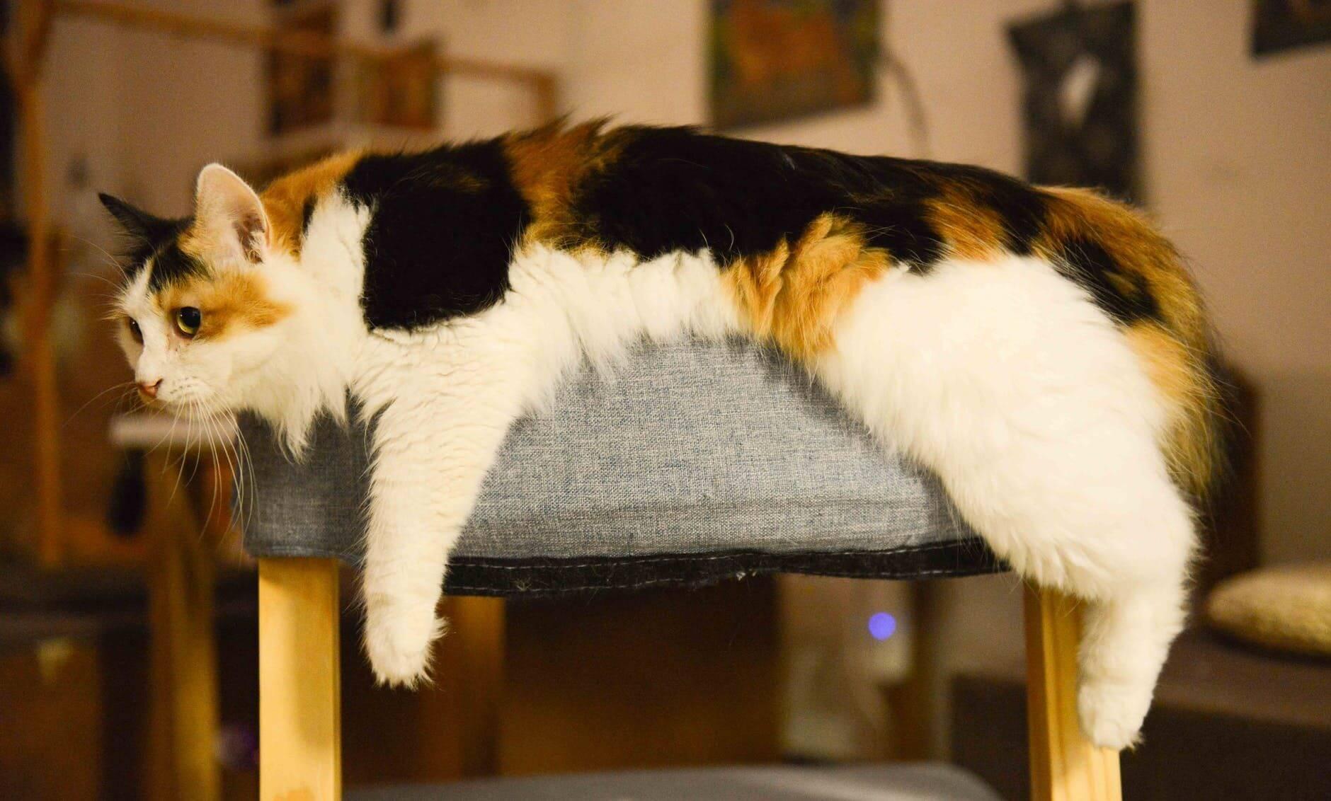 fakta mengenai kucing kembang telon