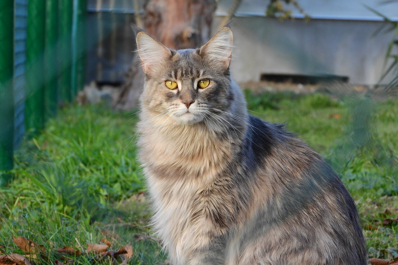 fakta-fakta kucing maine coon