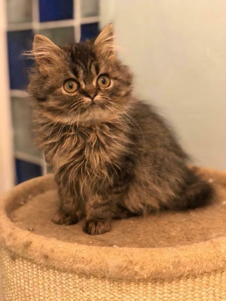 cara merawat anak kucing persia adopsi