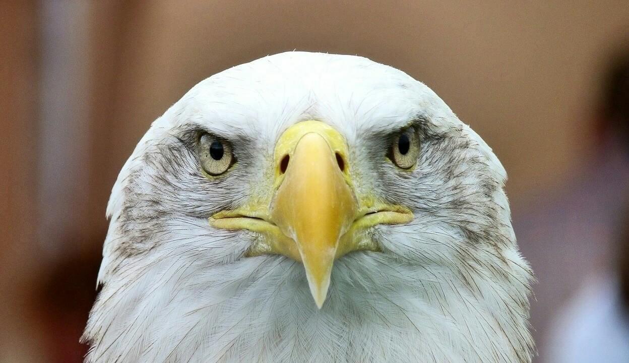 daftar harga burung elang
