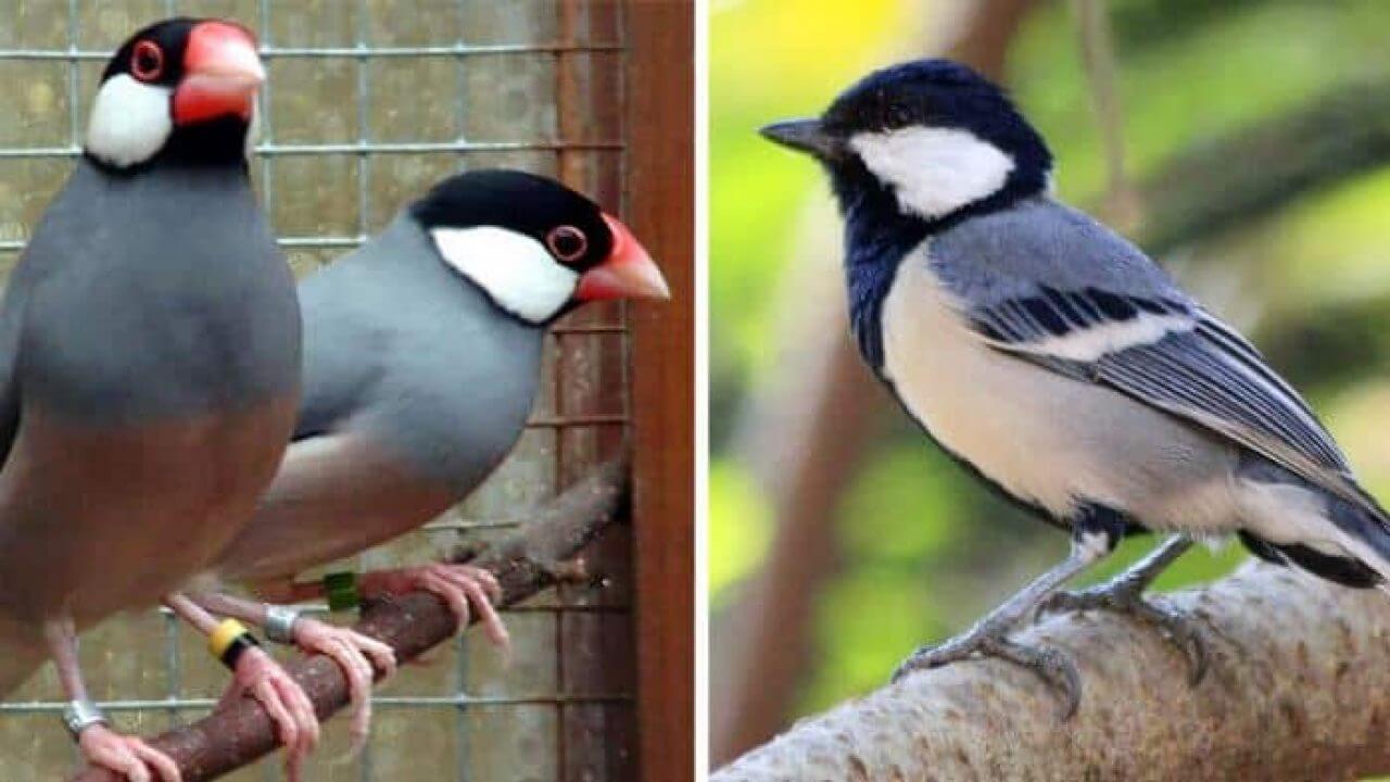 harga burung gelatik berbagai jenis