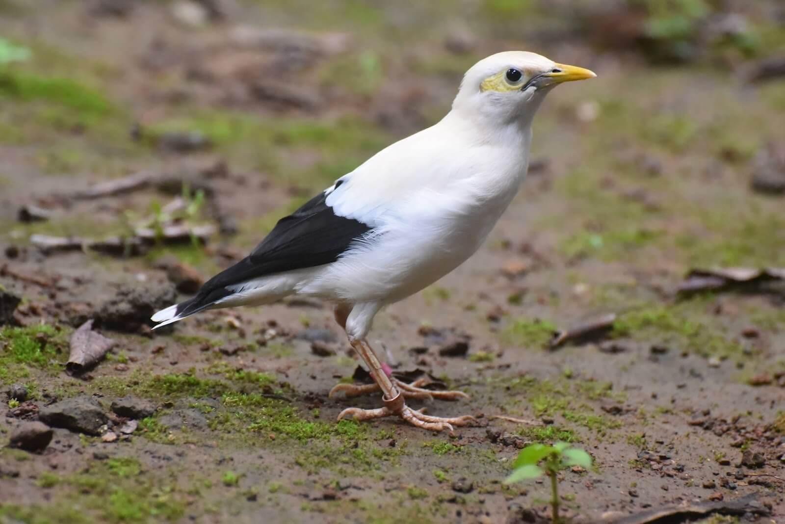 4 Daftar Harga Burung Jalak Putih Jenis Dan Karakteristiknya