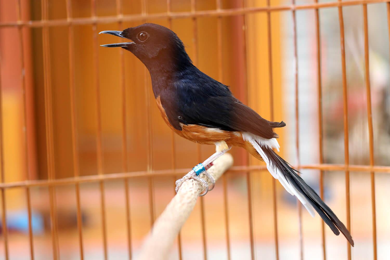 gambar burung murai