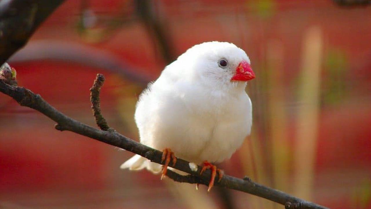 harga burung gelatik putih
