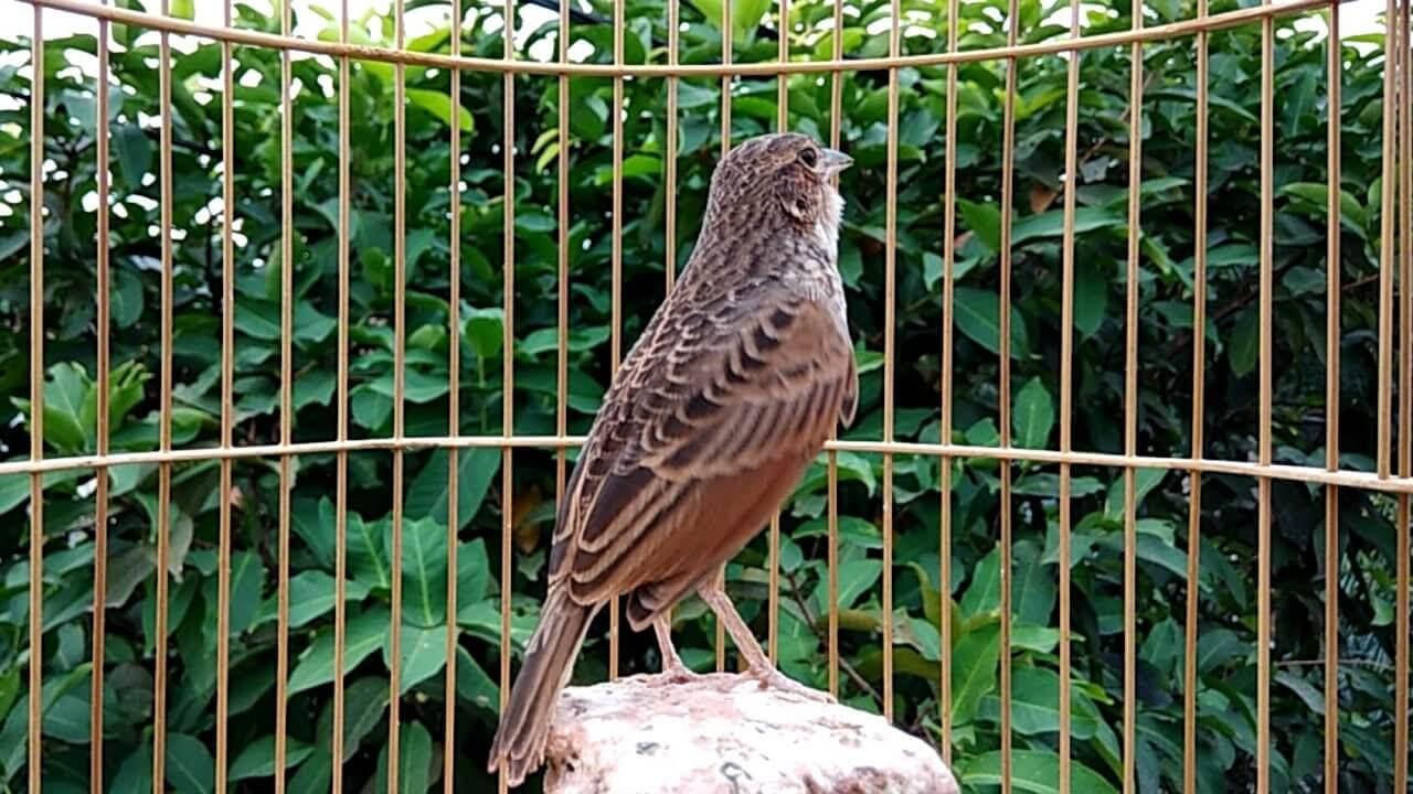 ragam jenis burung branjangan