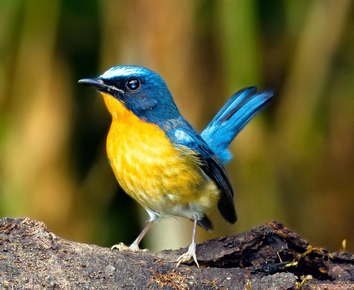 ragam jenis burung tledekan