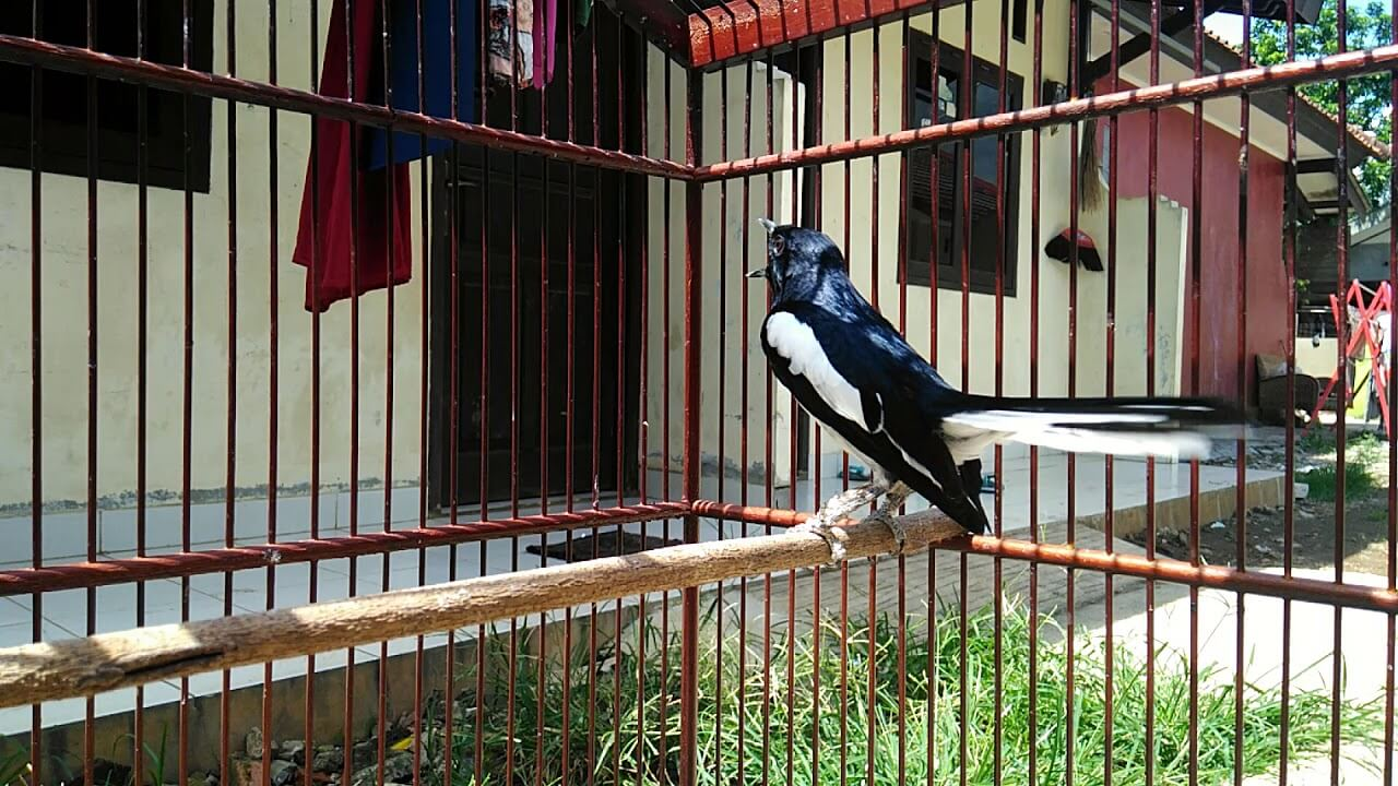 Harga Burung Kacer Jawa