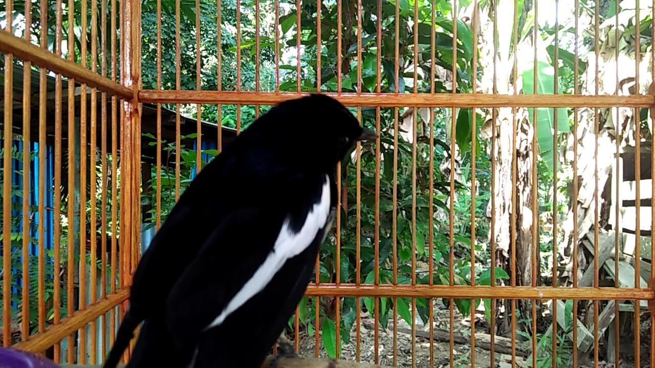 Gambar Burung Kacer Kalimantan