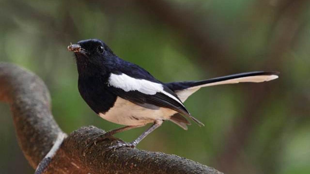 Jenis Kacer Madagaskar