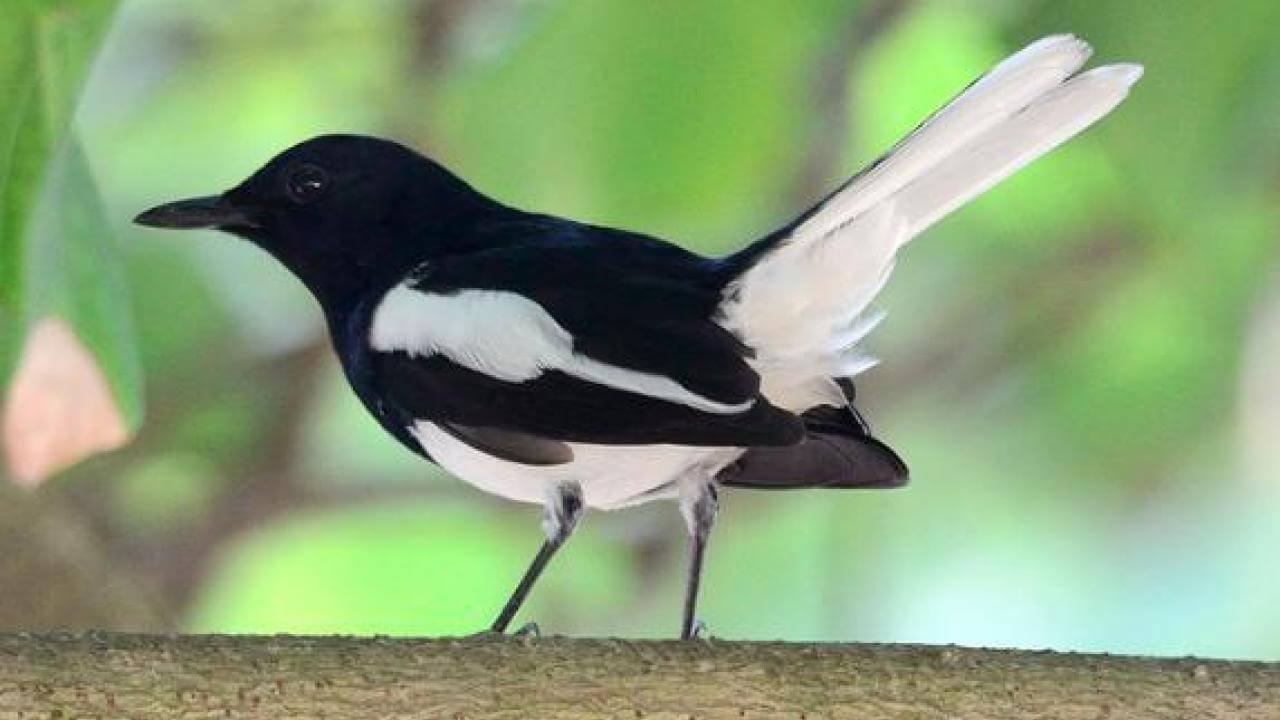 Berbagai Jenis Burung Kacer