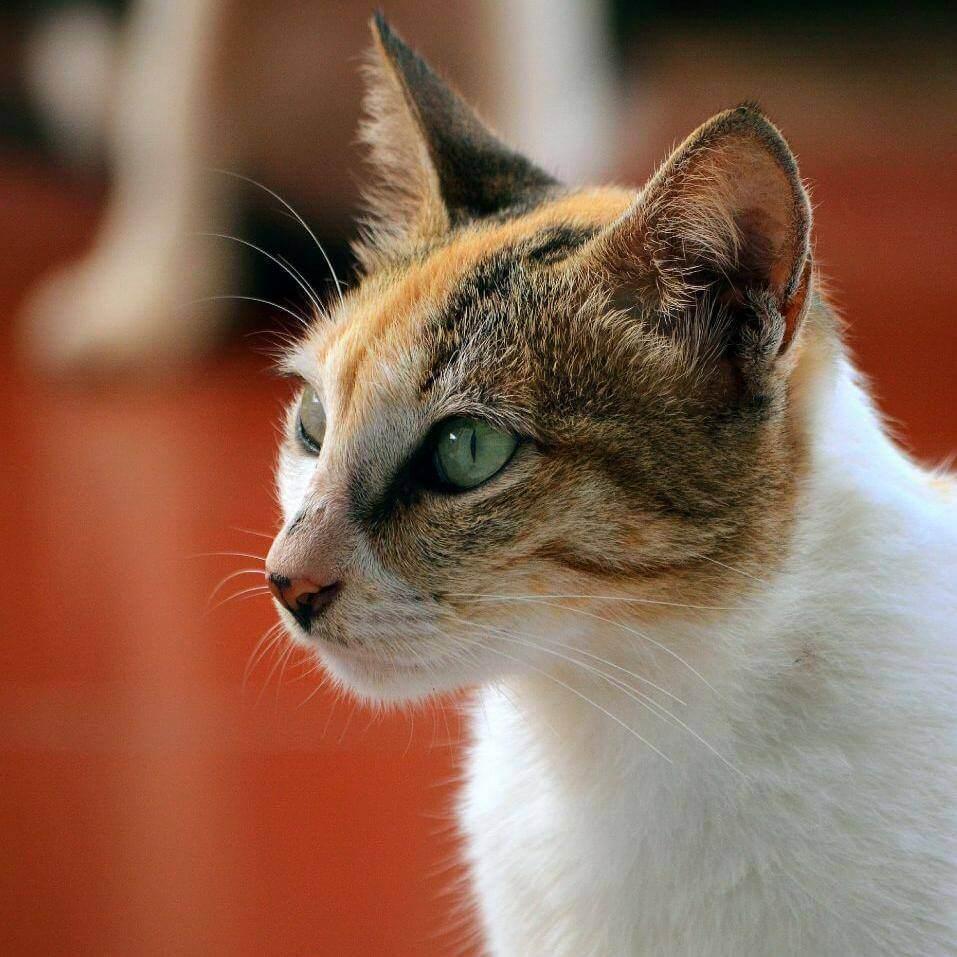karakter kucing kembang telon