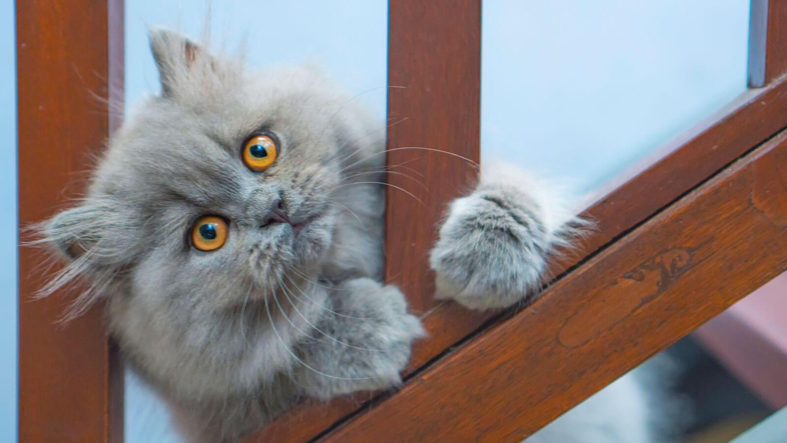cara perawatan anak kucing persia