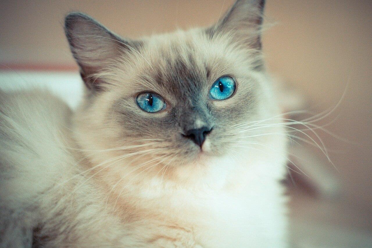 karakteristik dari kucing ragdoll