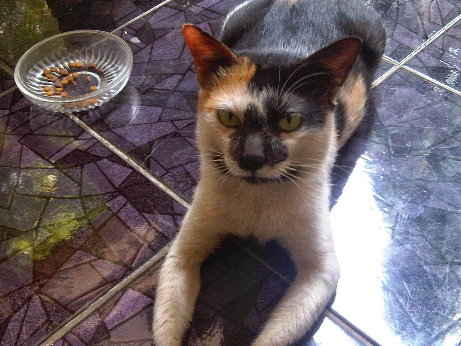 kucing kembang telon bukanlah kucing ras