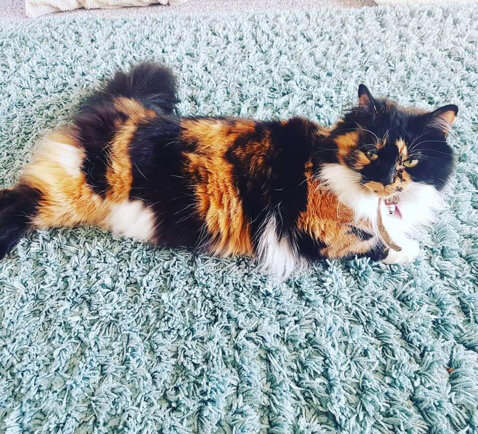 kucing kembang telon itu kelainan genetik