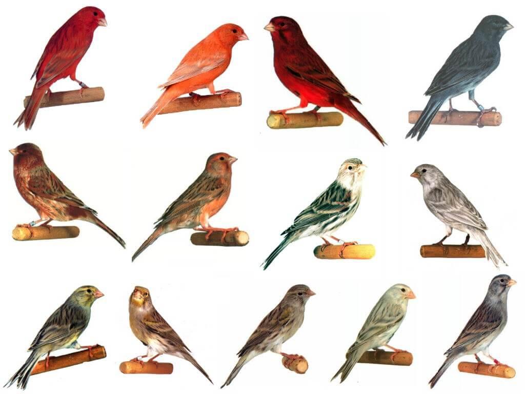 berbagai macam jenis burung kenari f1
