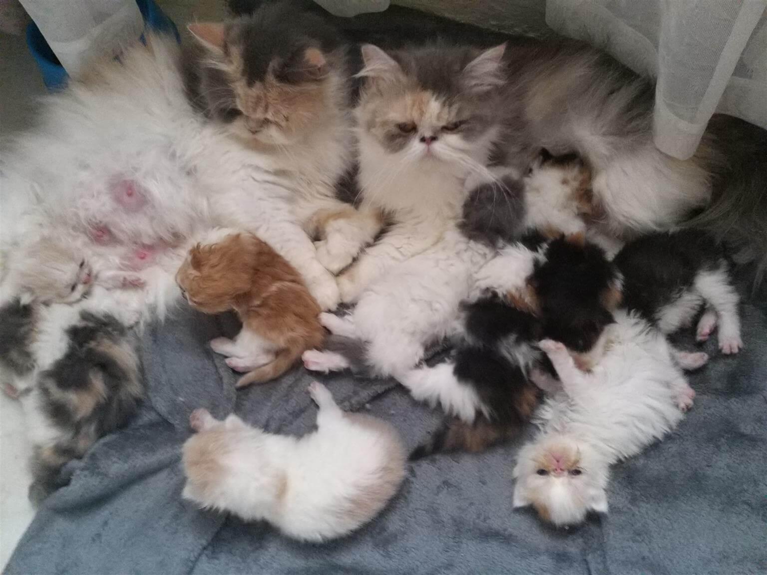 cara merawat anak kucing persia baru lahir