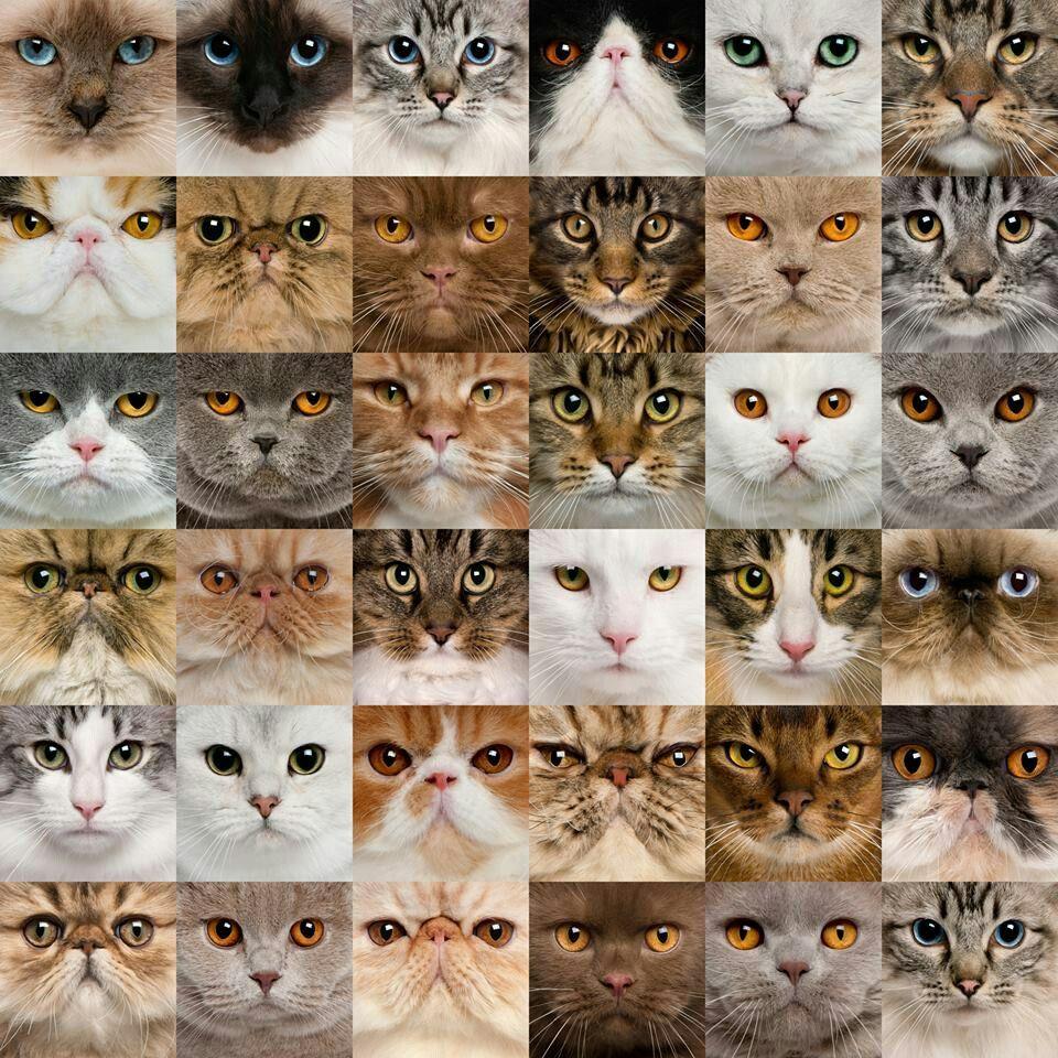 Klasifikasi Kucing Berdasarkan Nama Ilmiahnya