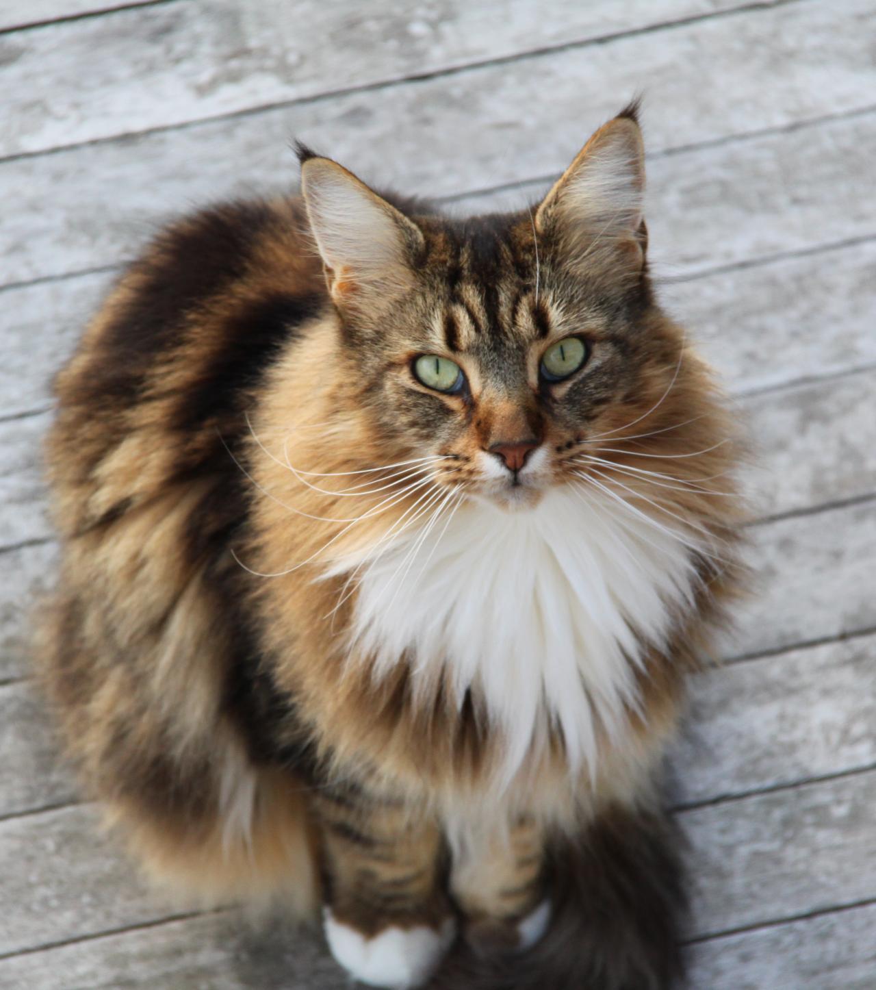 Klasifiksi Kucing Maine Coon