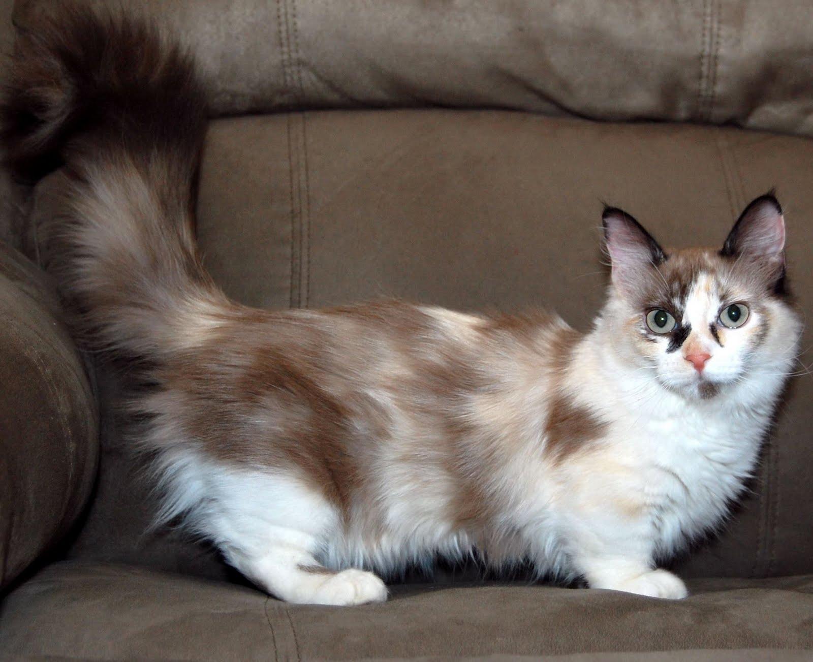 Klasifikasi Kucing Munchkin