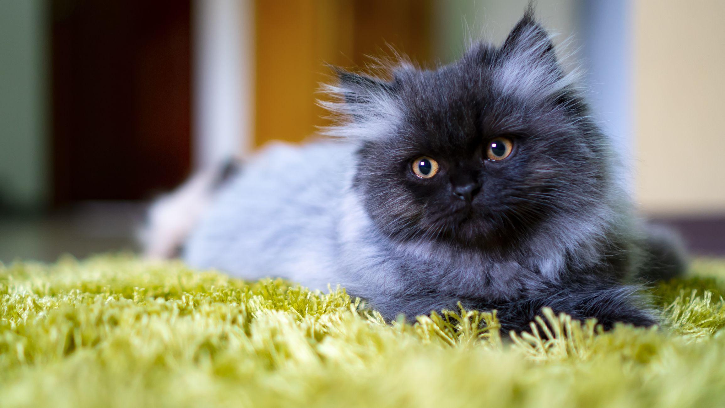 Klasifikasi Kucing Persian
