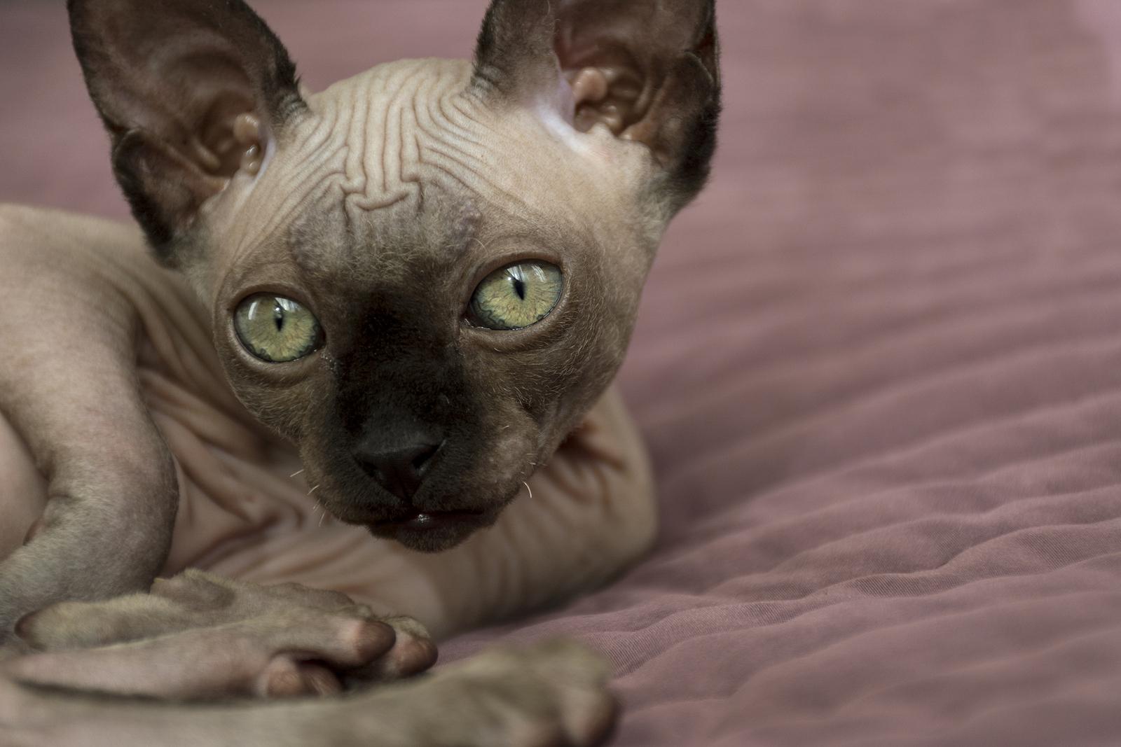 Klasifikasi Kucing Sphynx