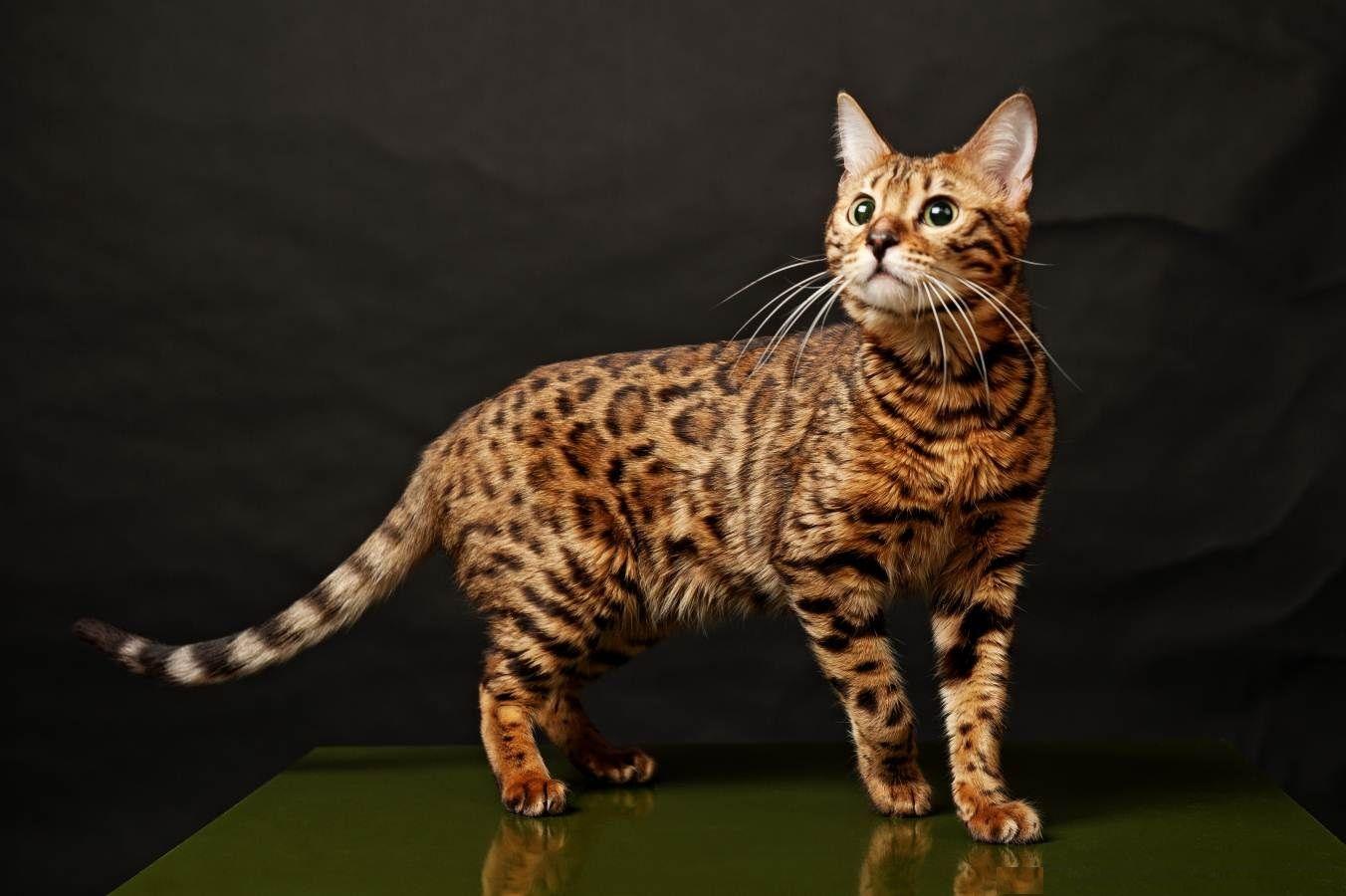 Klasifikasi Kucing Bengal