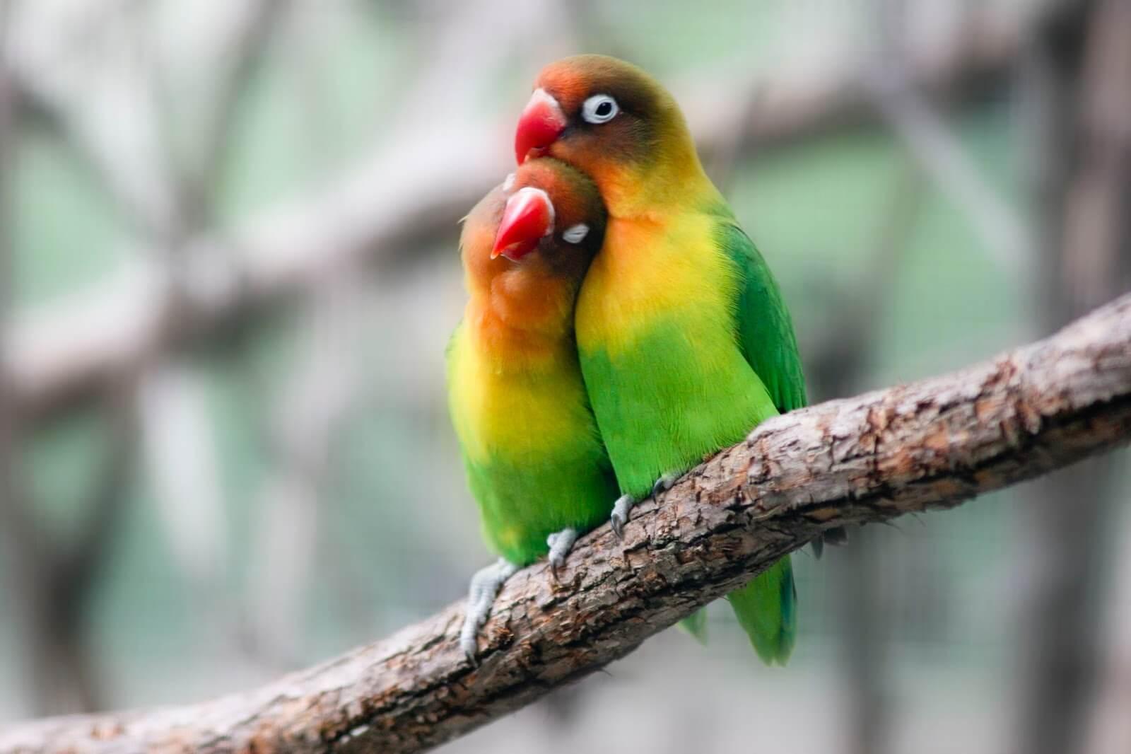 ciri klep dan non klep lovebird jantan maupun betina