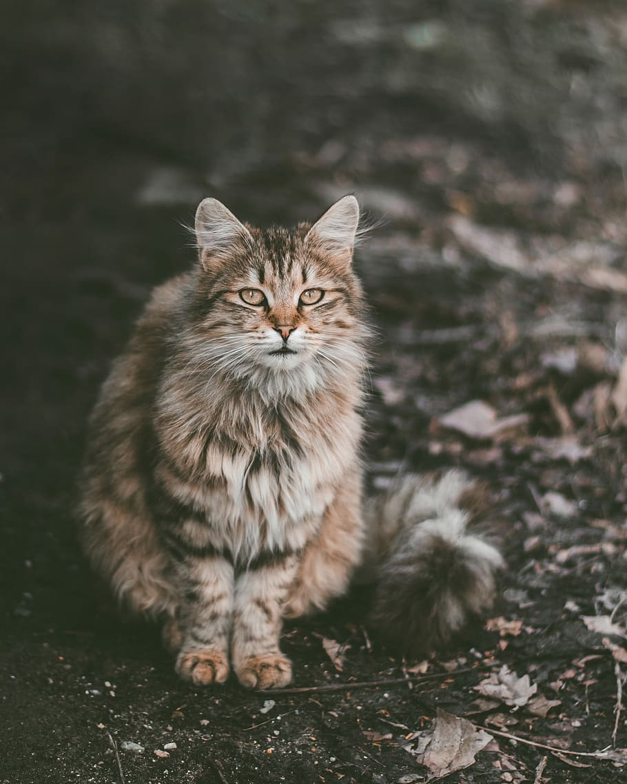 gambar kucing maine coon wallpaper
