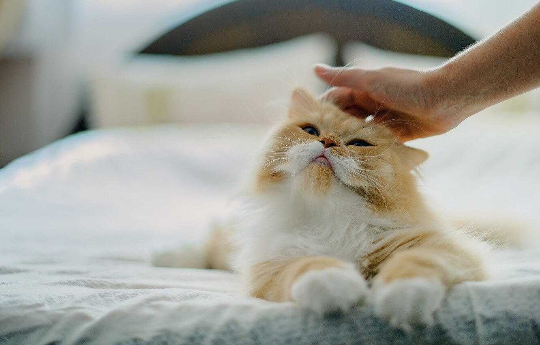 cara merawat kucing campuran