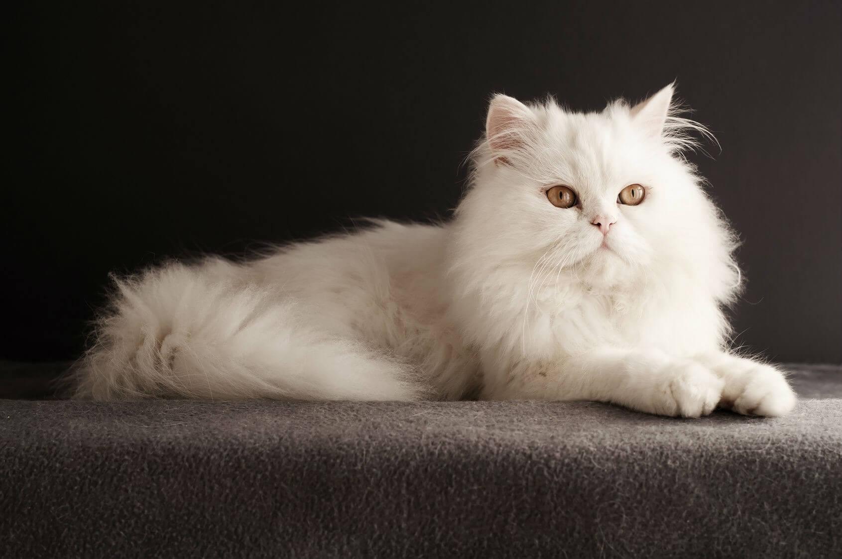 Gambar Kucing Persia Medium godean.web.id