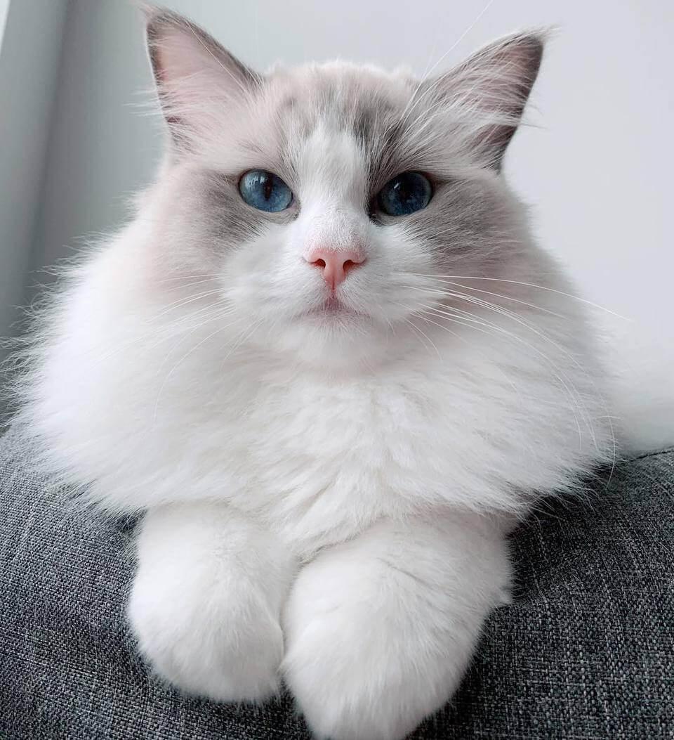kucing ragdoll merupakan peliharaan yang jinak