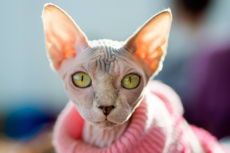 Menjemur Kucing Sphynx
