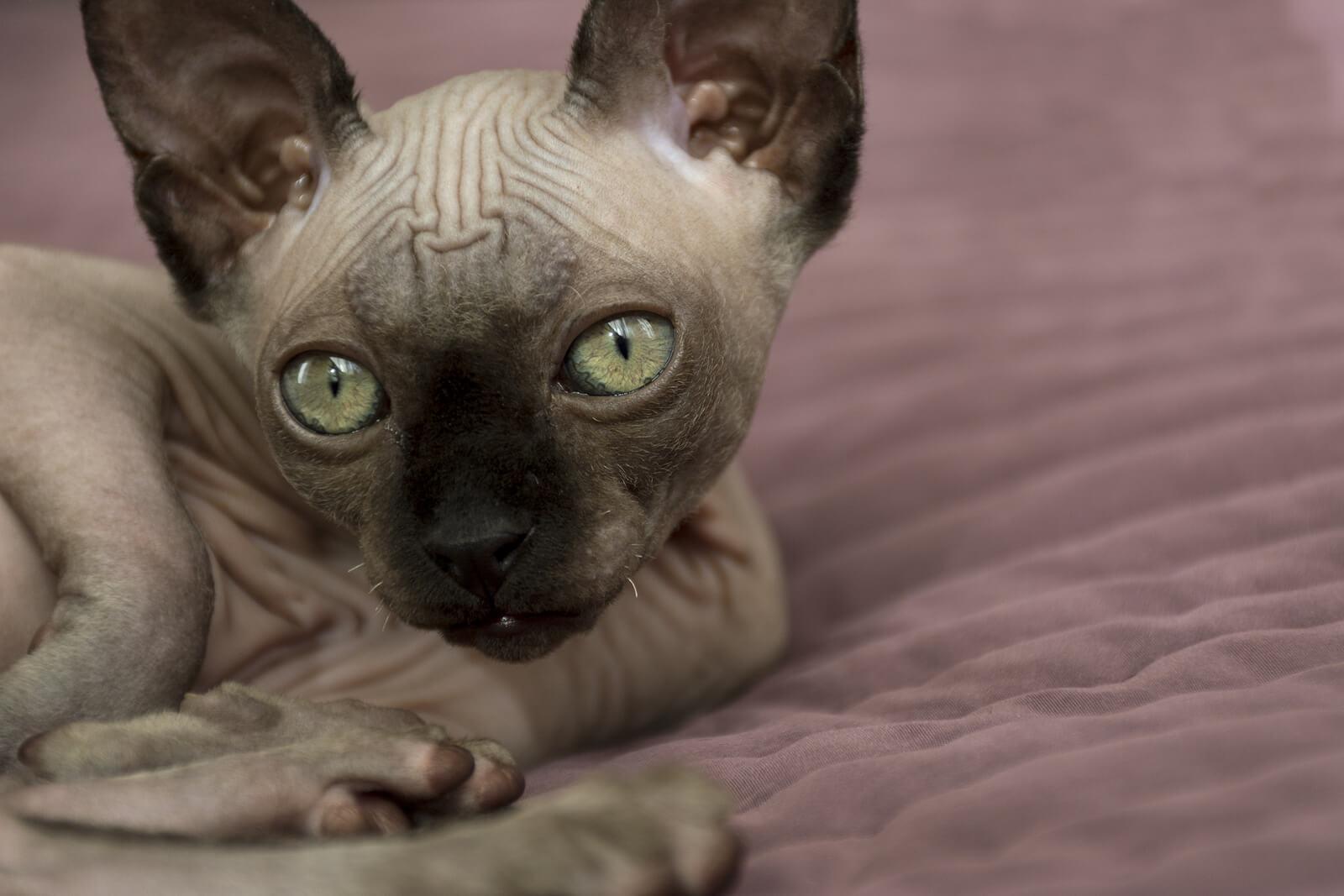 Mengenal Kucing Sphynx yang Unik