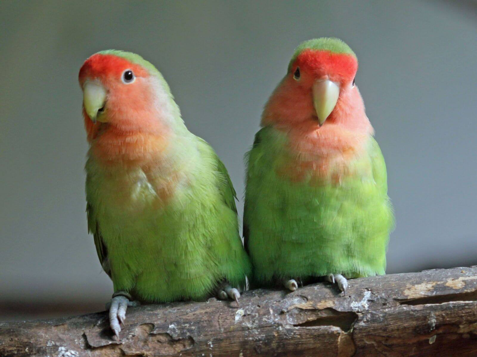Foto Burung Lovebird Muka Salem / Agapornis roseicellis