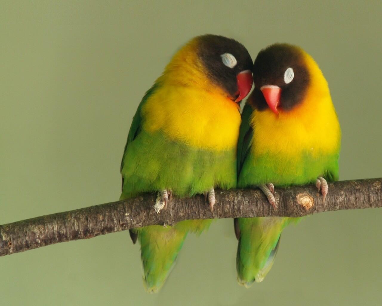 10 Ciri Ciri Lovebird Jantan Dan Betina Yang Perlu Diketahui