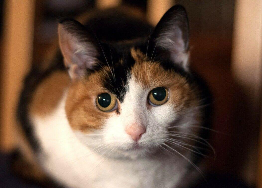 harga kucing kembang telon itu mahal