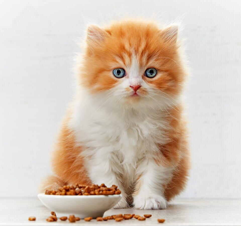 Tips Memilih Makanan Kering Untuk Anak Kucing