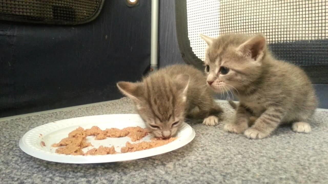 jenis makanan anak kucing