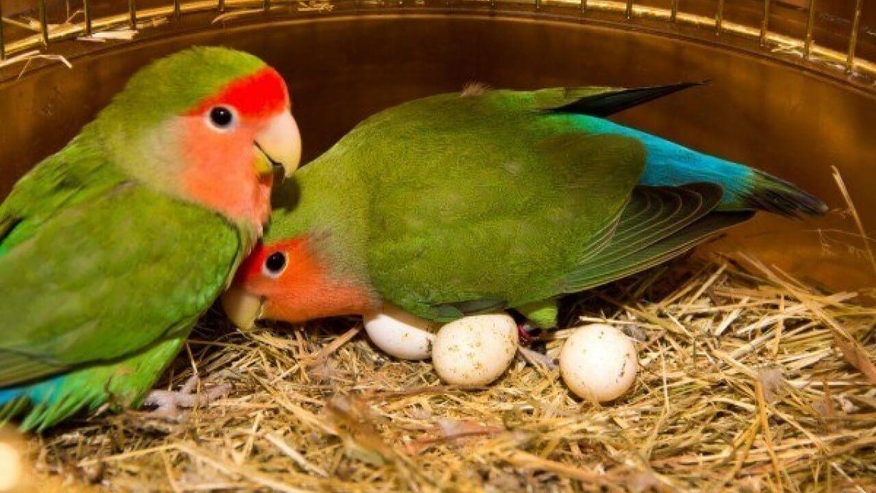 cara ternak lovebird josan