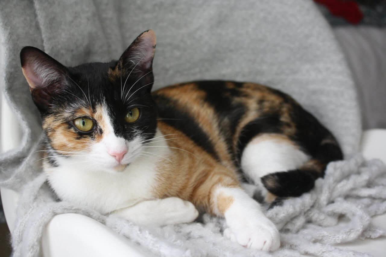 mitos mengenai kucing kembang telon diberbagai negara