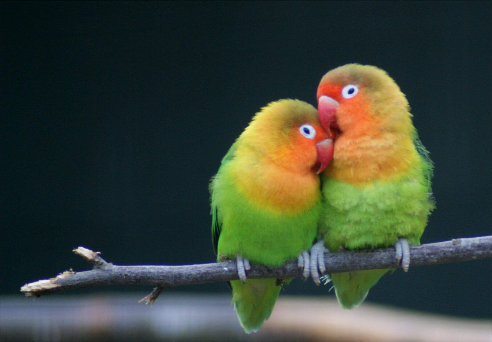 bagaimana cara memelihara lovebird