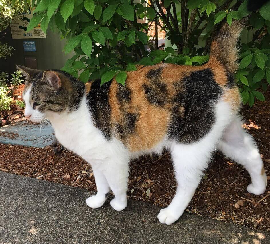 motif warna kucing kembang telon