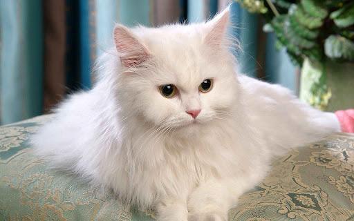 cara menjaga anak kucing persia 4 bulan