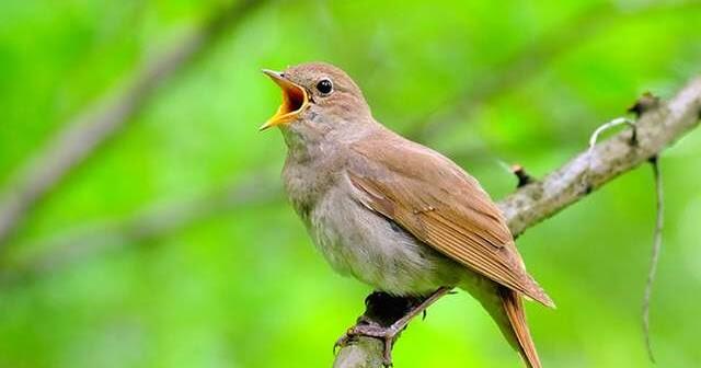 gambar burung sikatan londo muda tua