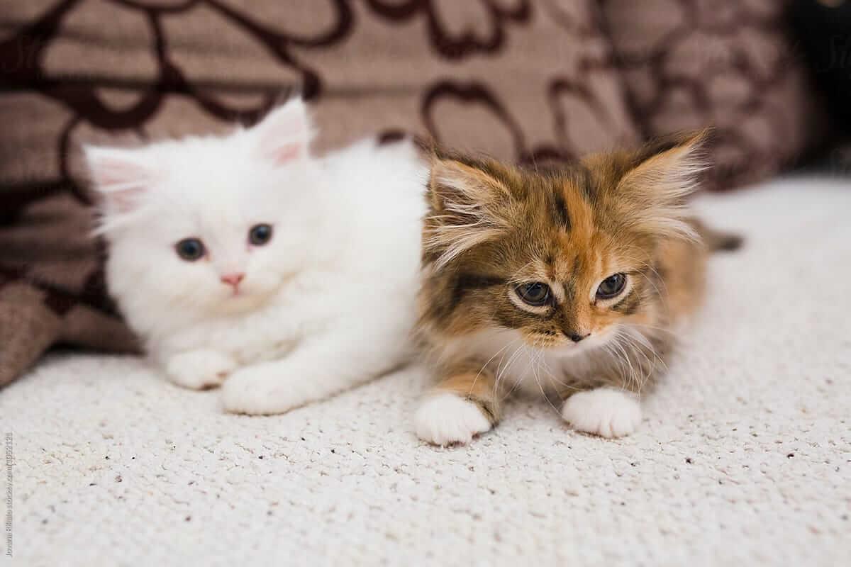 cara merawat anak kucing persia agar gemuk