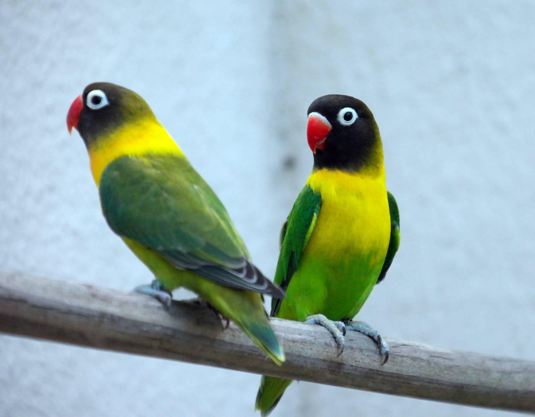 ciri-ciri tingkah laku lovebird jantan dan betina
