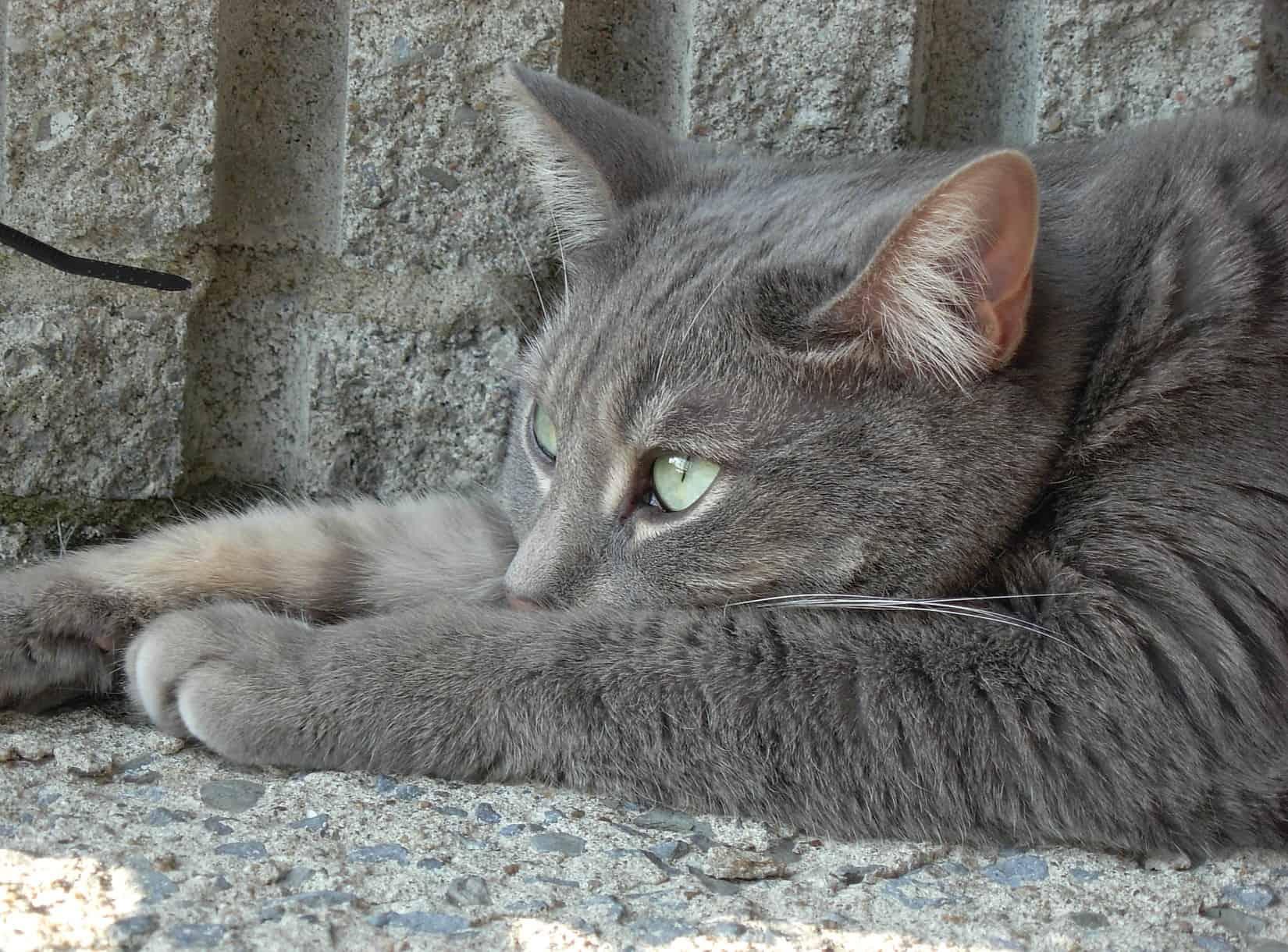 kucing merasa tidak nyaman pertanda sakit